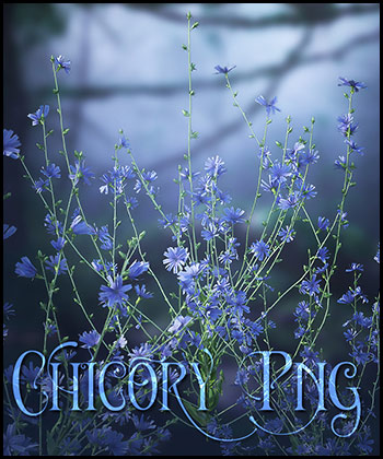 Chicory Flowers Png